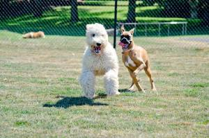 Brown dog chasing white fluffy dog