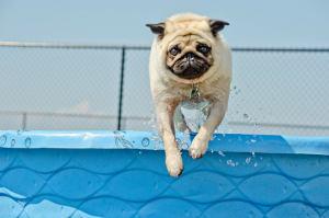 pug jumping into pool
