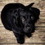 Black lab puppy sitting
