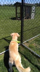 golden retriever looking out fence