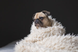 pug wrapped in fluffy blanket