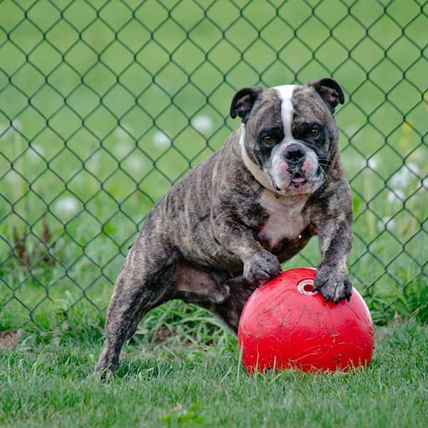 Bulldog standing on a red ball