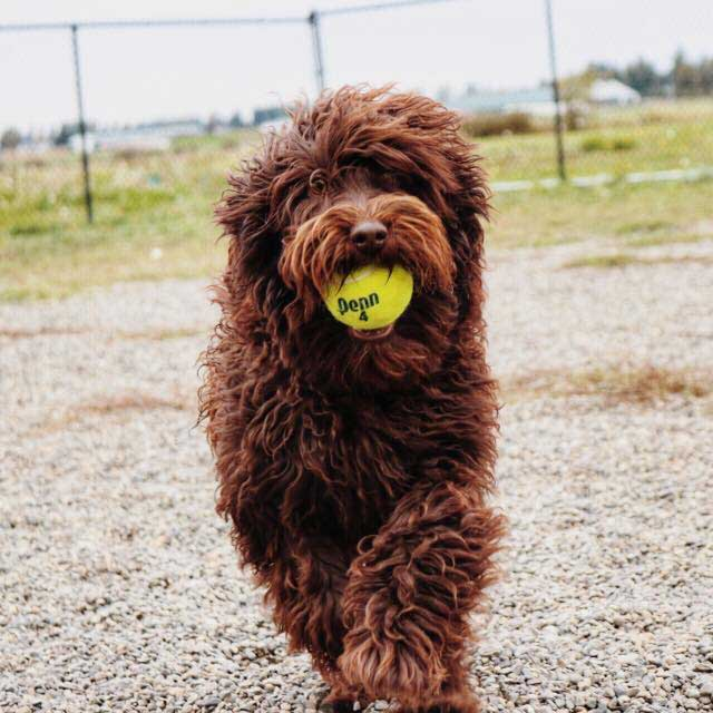 Poodle mix holding a tennis ball