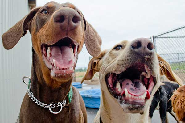 Two smiling, happy dogs